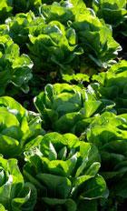 lettuceA140