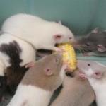 GMO-study-on-rats2-150x150