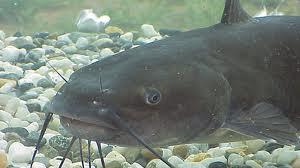 Types of fish for aquaponics bio prepper for Catfish aquaponics