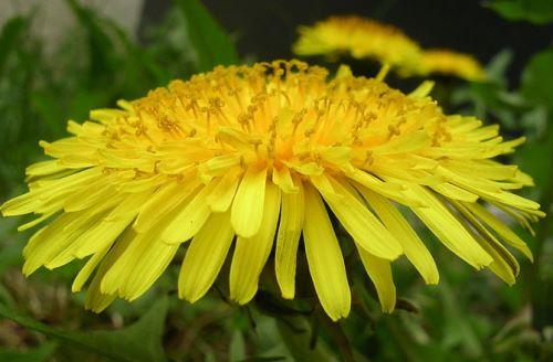 backyard-drugs-dandelion