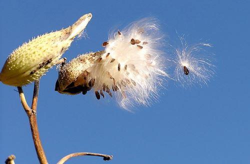 backyard-drugs-milkweed