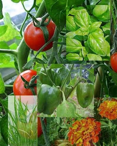 tomato-companions