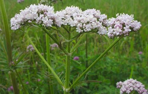 valeriana-officinalis-fl-gmittelhauser-c