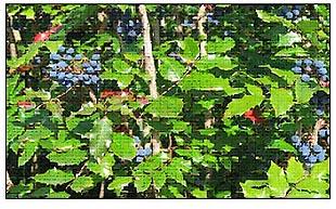 medicinal-plant-oregon-grape TOP MEDICINAL PLANTS