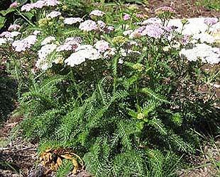 medicinal-plant-yarrow