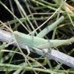 800px-Grasshopper_27